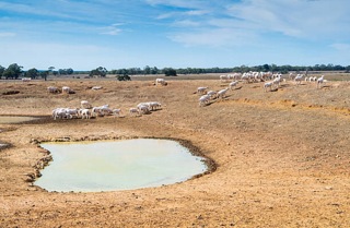 Sheep near dried up dam.png