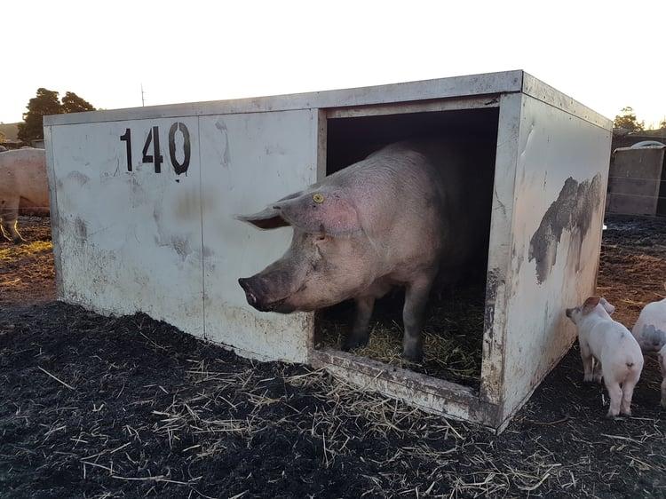 Sandwich Panel Pig Hut.jpg