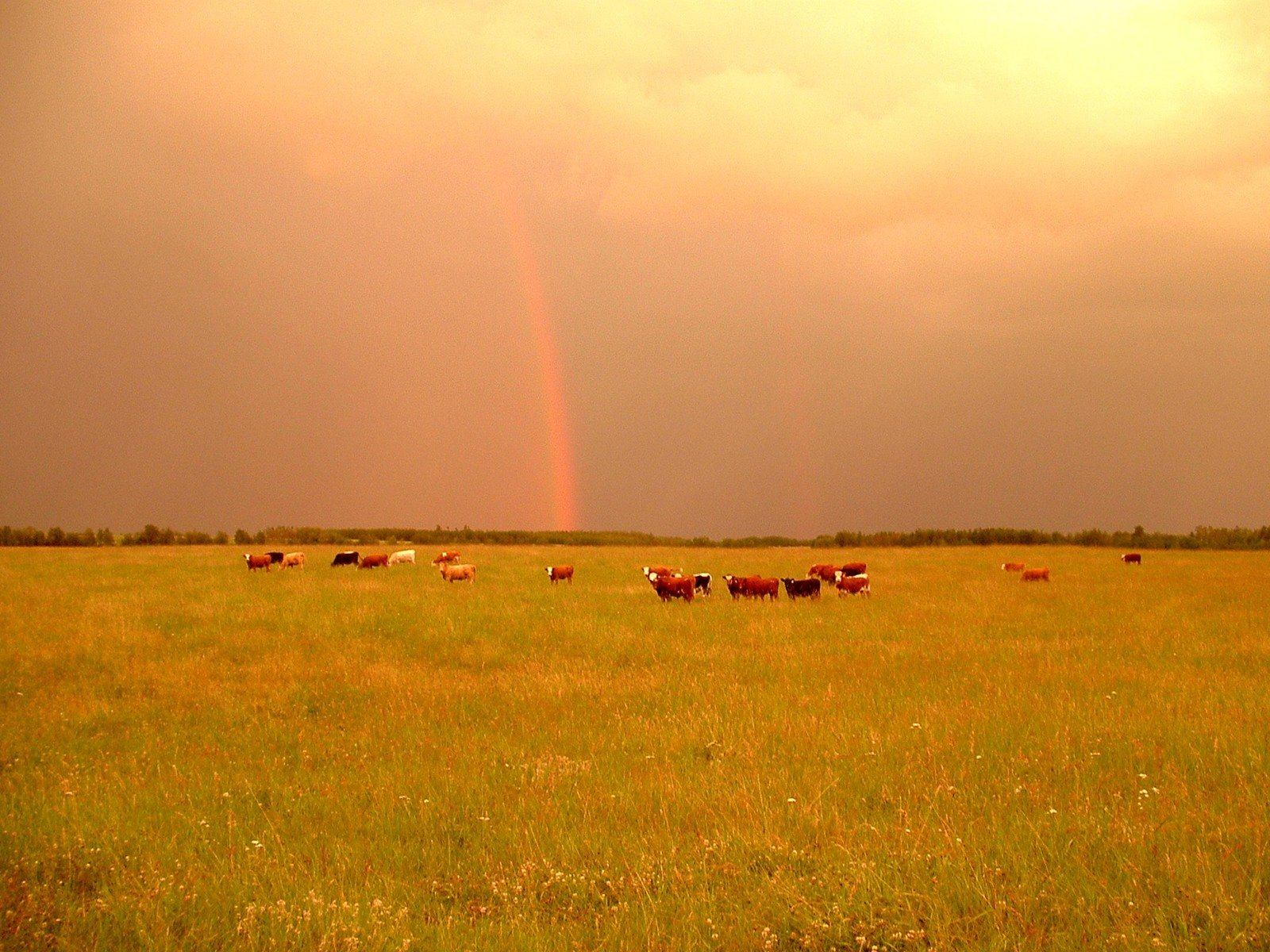 cows grazing on a field-1